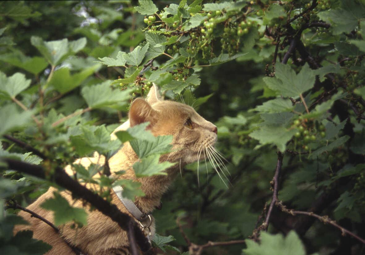 Katt sitter och smyger i buske